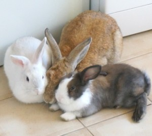 rabbits as pets
