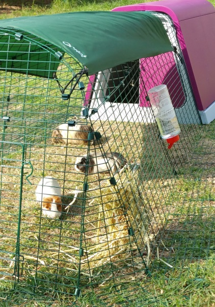 Eglu the best Guinea Pig and Rabbit Hutch ever